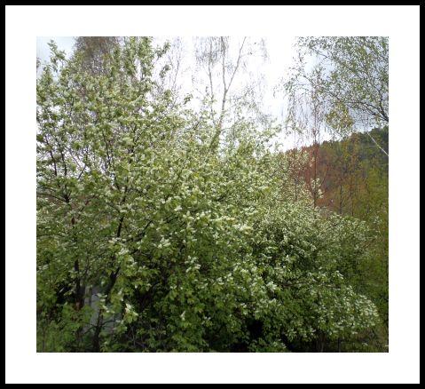 Весной на даче цветет черемуха