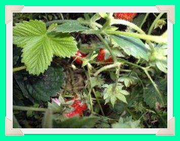 В листве прячется зреющая клубника