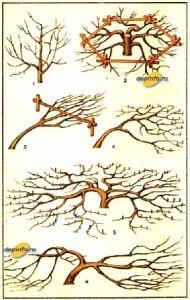 различные формы кроны