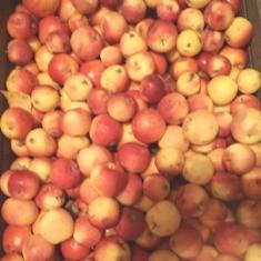 сибирские яблоки