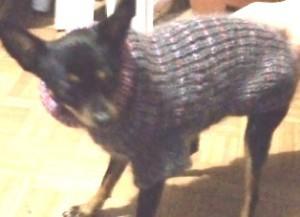тойтерьер в свитере
