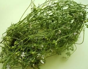 кориандр с семенами