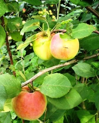 созрели яблоки