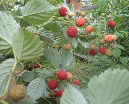 много ягод