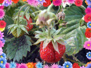 ягода на грядке