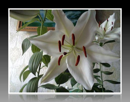 крупные белые лилии