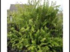 Барбарис обыкновенный применяется как живая изгородь