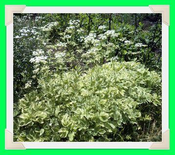Декоративное многолетнее растение сныть