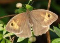 мотыль луговой - бабочка