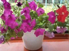 Выставка цветов в поселке Зыково Красноярского края
