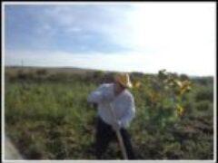 Наш урожай картофеля с участка земли 3 сотки