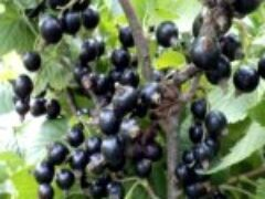 Кустарники черной смородины хорошо плодоносят в Сибири