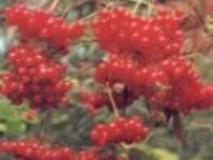 Калина ягода полезная для сердца холодостойкое растение