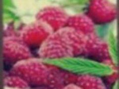 Малина ягода полезная для здоровья выращивание размножение