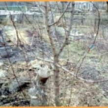 Обрезка дерева в Сибири рекомендуется только весной