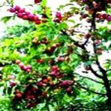 Прививка деревьев в Сибири различные методы