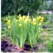 Ирисы в Сибири многолетние желтые декоративные высокие
