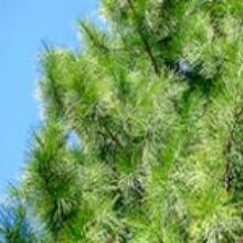 Посадим Сибирские кедры для внуков они долго растут