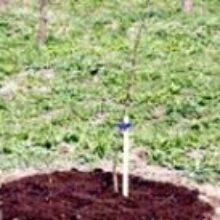 Посадка деревьев весной саженцами в возрасте одного года