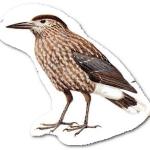 птичка кедровка