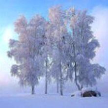 Сосны кедровые сибирские растут в тайге Красноярского края