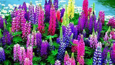 цветы люпина