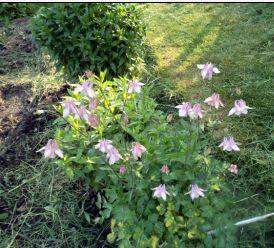 цветет водосбор