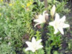 Многолетние цветы  августа лилии немезии клематисы флоксы