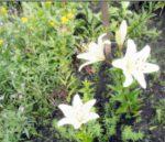 многолетние цветы августа