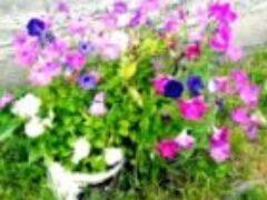 Однолетние цветы на даче цветут все лето