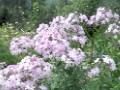 флоксы фиолетовые многолетние
