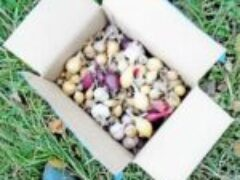 Посадка лука чеснока осенью после первых ночных заморозков