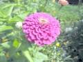 один цветок циннии