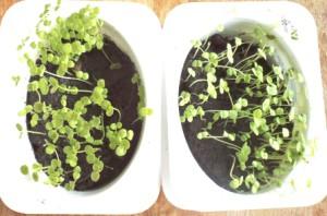 всходы мелких семян