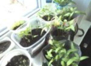 Пикирование рассады необходимый прием выращивания