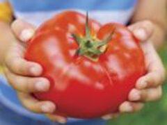 Тепличные томаты для Сибири