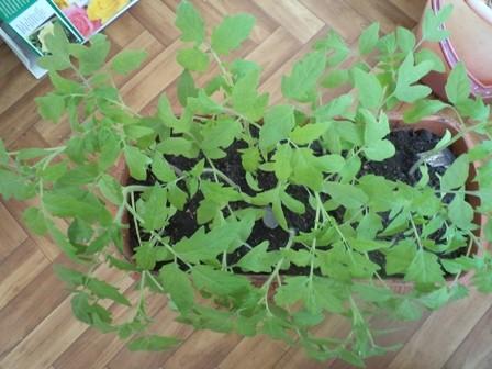 томатам месяц