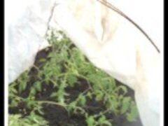 Пересадка рассады томатов в теплицу в апреле