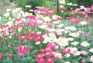 цветущий пиретрум