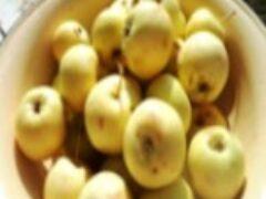 Много яблок в сентябре родилось на наших участках