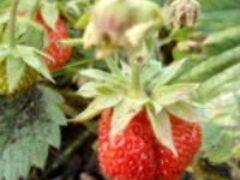 Новые посадки клубники в агроволокно увеличивают урожай