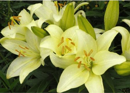 лилии Ла- гибриды