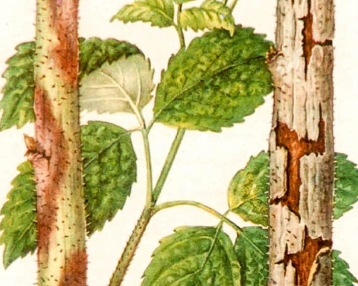 поврежденная кора малины