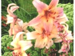 Сорта лилий красочные азиатские гибриды в Сибири