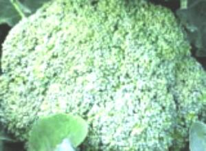 Посев капусты на рассаду в конце апреля под пленку