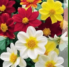 цветут веселые ребята