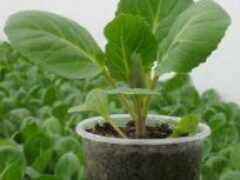 Пересадка рассады капусты из — под пленки в открытый грунт