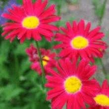 Пиретрум многолетний яркие ромашки в огороде