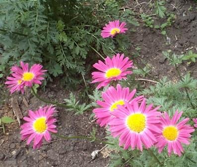 пиретрум в огороде
