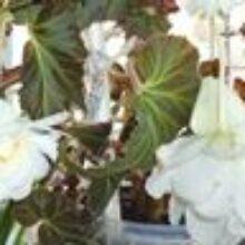 Выращивание бегонии в контейнере из клубня весной и летом